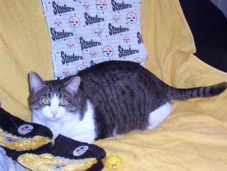 Tabby shorthair cat.