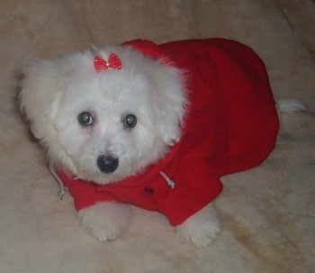Small white dog in red sweater