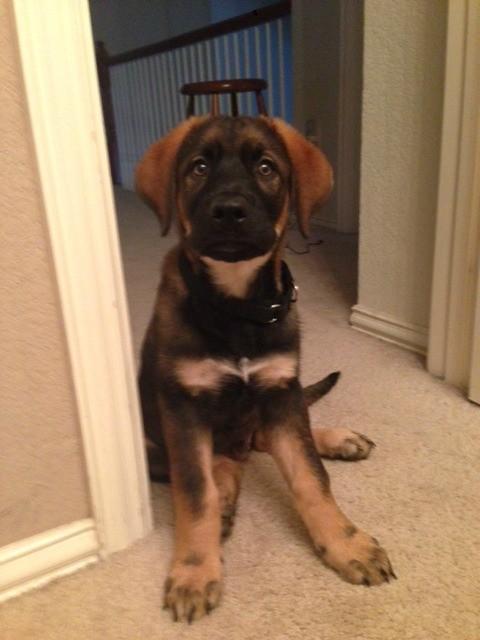 What Breed Is My Dog German Shepherd Mix Thriftyfun