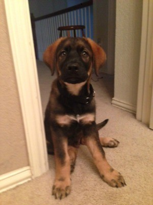 Black, brown, and tan puppy.