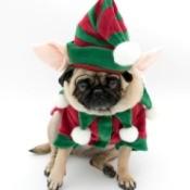 A pug dog dressed up like an elf.