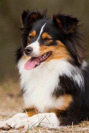 A border collie sheltie mixed breed dog.