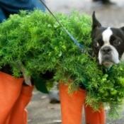 A dog dressed up like a chia pet.