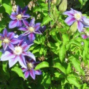 Blue and purple clematis.