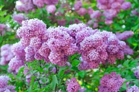 Growing Lilacs Thriftyfun