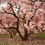 Magnolia trees with pink blossoms.