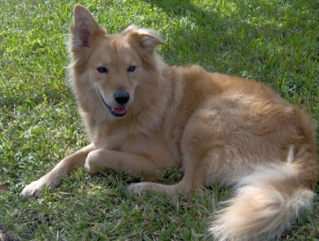 Scout (Chow/Golden Mix)