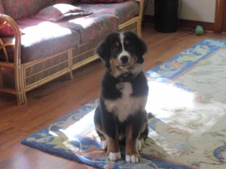 Bernese puppy.