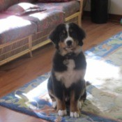 Bernese puppy.