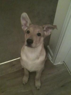 Tan dog with big ears.