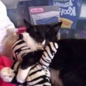 Socks (Cat)