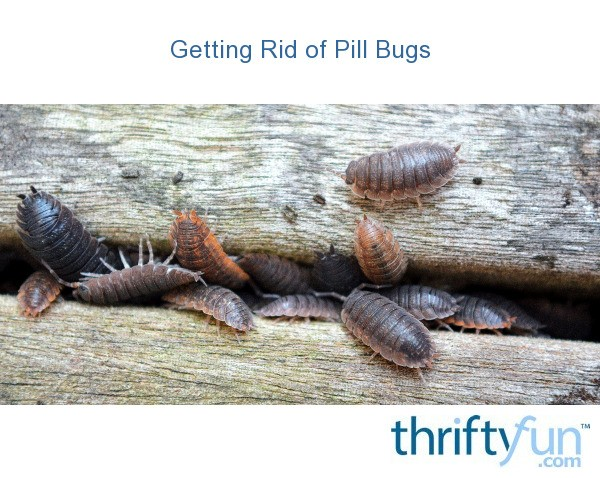 Getting Rid Of Pill Bugs