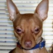 Buddy (Chihuahua)