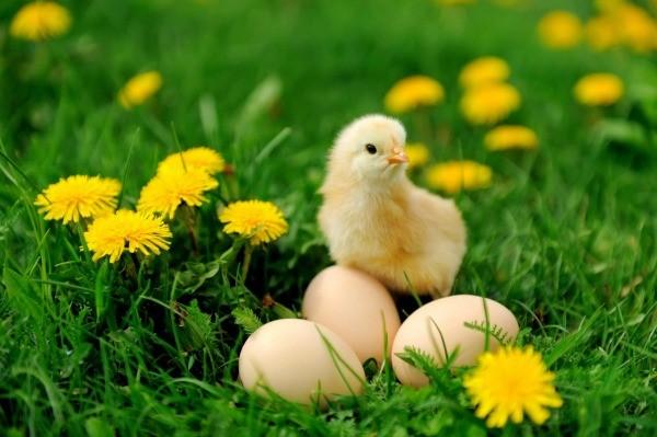 Chick Photos Thriftyfun
