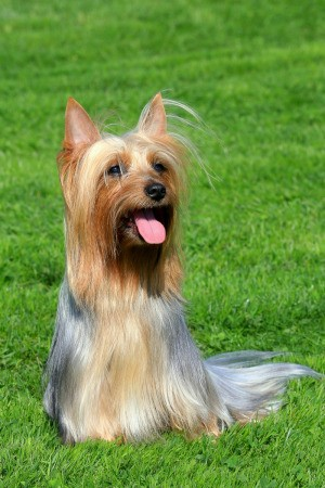 Silky Terrier in Grass