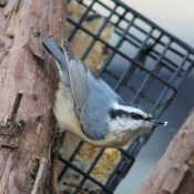 Nuthatch on suet feeder.