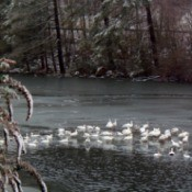 Snow Geese on the Lake