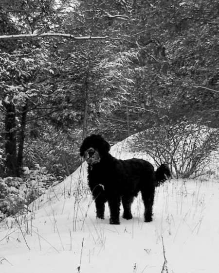 Newfoundland mix in the snow.