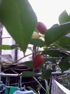 Two red fruit hanging from the vine.
