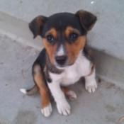 Small black, tan, white puppy.