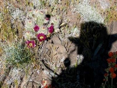 Shadow of Webby taking photo of purple flowering cactus.