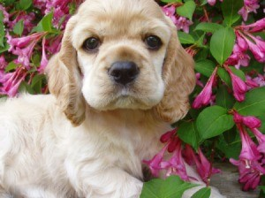Buff Colored Cocker Spaniel Puppy
