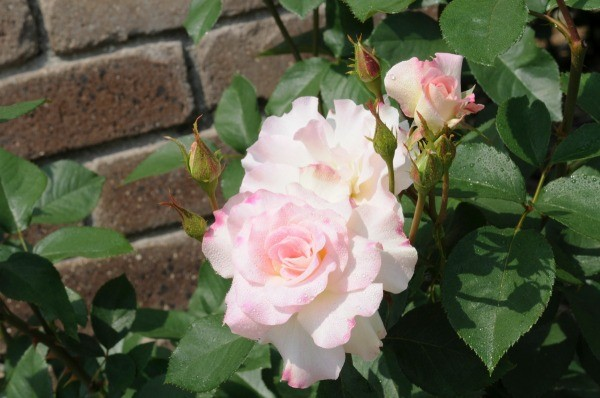 Rose Bush Never Blooms