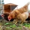 Chickens Near Chicken Coop