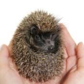 Pet Hedgehog