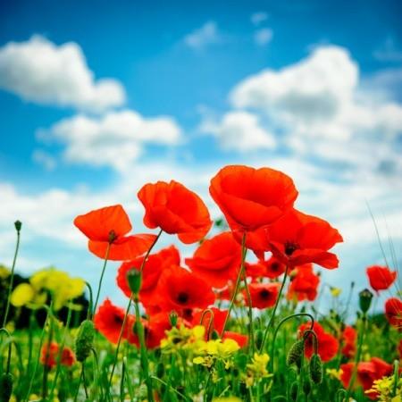 Summer Poppy Garden