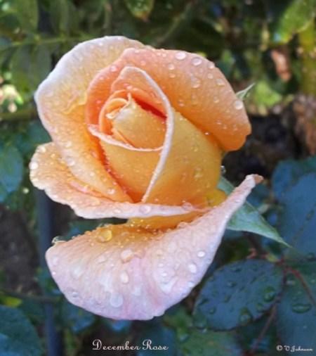 Peach rose bud.