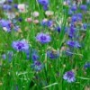 Growing Bachelor's Button (cornflowers)