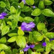 Perennial Vinca with Purple Flowers