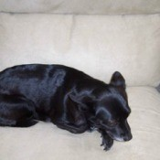 Black dog on couch.