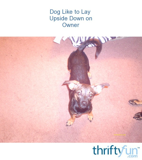 My Dog Wont Stop Licking Carpet: Dog Likes To Lay Upside Down On Owner