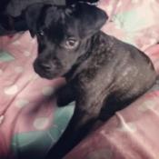 Dark brindle puppy.