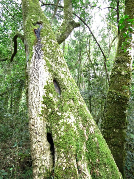 Moss covered tree in South Africa.