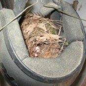 Nest in helmet.