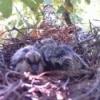 Baby birds.
