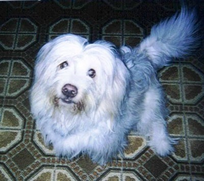 Long haired white dog.
