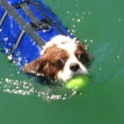 Dog in life vest swimming with a tennis ball in his mouth.