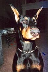 Black and tan Doberman.