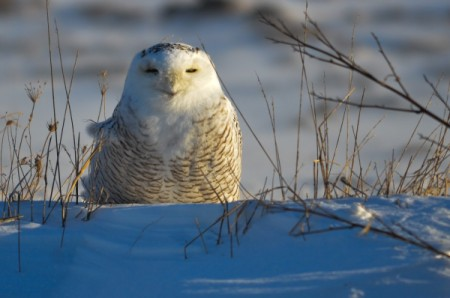Who's Watching Who (Snowy Owl)