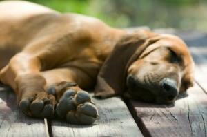 Redbone Hound Sleeping