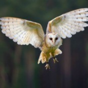 An owl in flight.