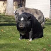 Velvet (Pig)