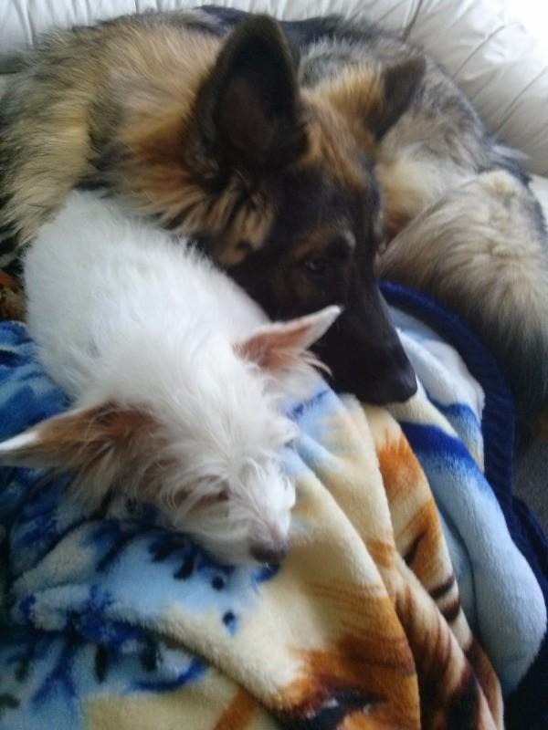 Sandy Poodle Chihuahua Mix And Milo German Shepherd