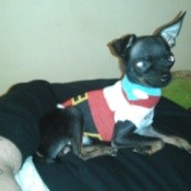 Small black dog wearing a sweater.