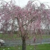 Weeping cherry tree in bloom.