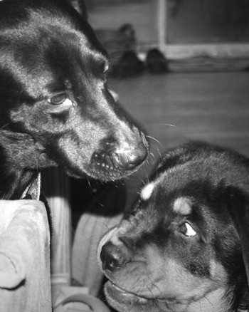 Black and white photo of the two dogs.